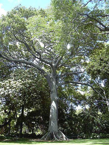 360px-Kapok_tree_Honolulu