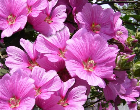 pink_mallow_flower_flowers