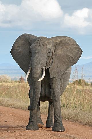 320px-African_Bush_Elephant